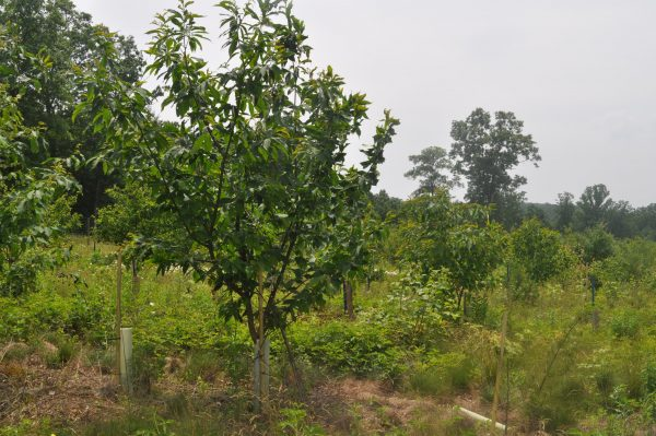 Chestnut Plantation
