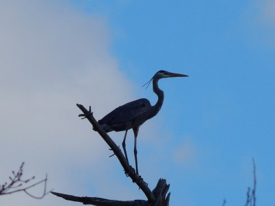 Great Blue Heron by Brian Sedgwick