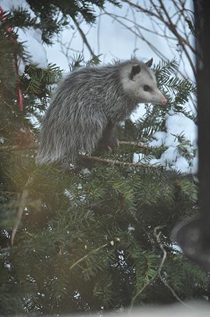 Underappreciated Opossums!   Shaver's Creek Environmental Center
