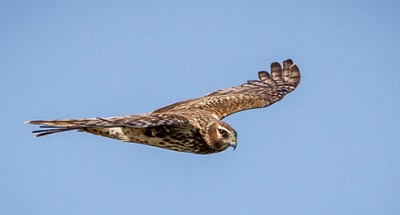 Northern Harrier by Andy Morffew (Creative Commons)