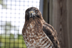 Broadwing Hawk