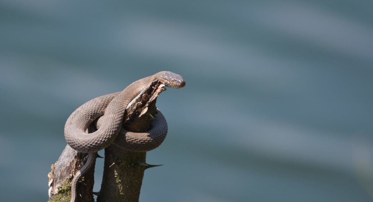 A watersnake basking in the sun on a tree that is sticking out of the water