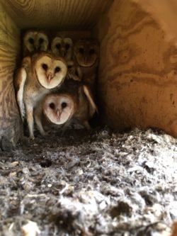 Six barn owl nestlings in their nestbox.
