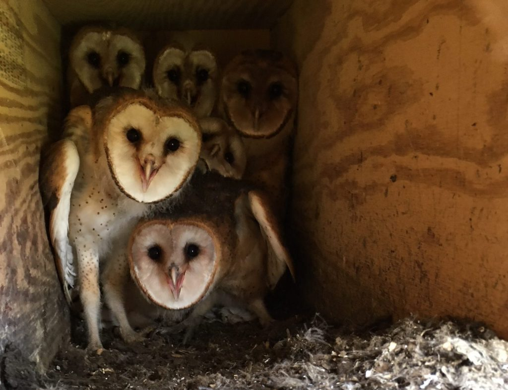 A view from the Barn Owl nestcam