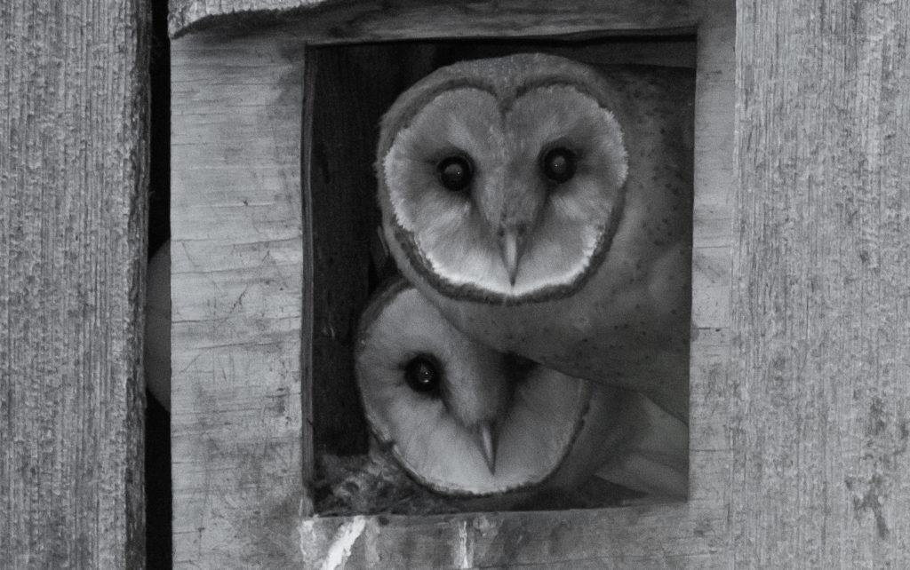 Two young barn owls.