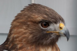 Alula the Red-tailed Hawk