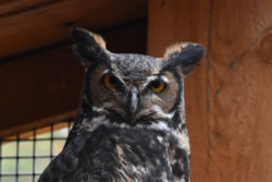 Cere the Great Horned Owl