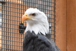 Charles the Bald Eagle
