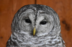 Cook the Barred Owl