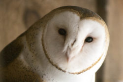 Cosmo the Barn Owl
