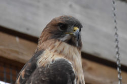 Jamaica the Red-tailed Hawk