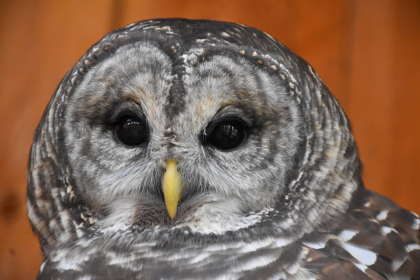 Jerudi the Barred Owl