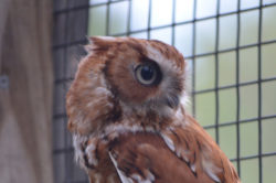 Rufous the Eastern Screech Owl