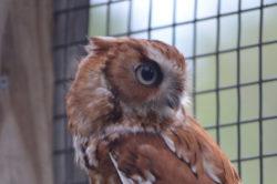 Rufous the Eastern Screech Owl
