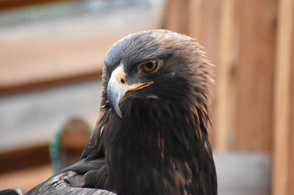 Tussey the Golden Eagle