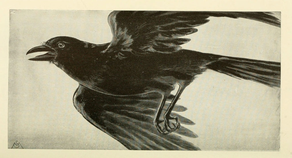 Illustration of a Crow