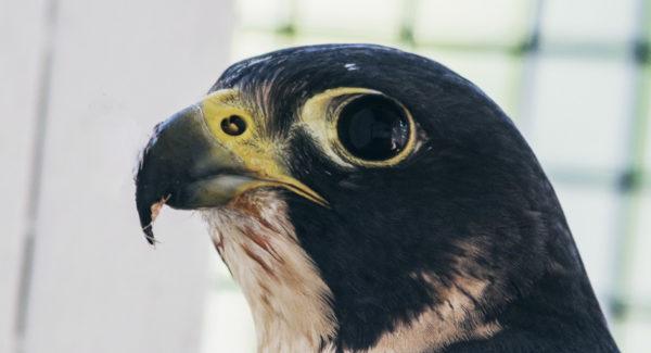 Susquehanna the Peregrine falcon