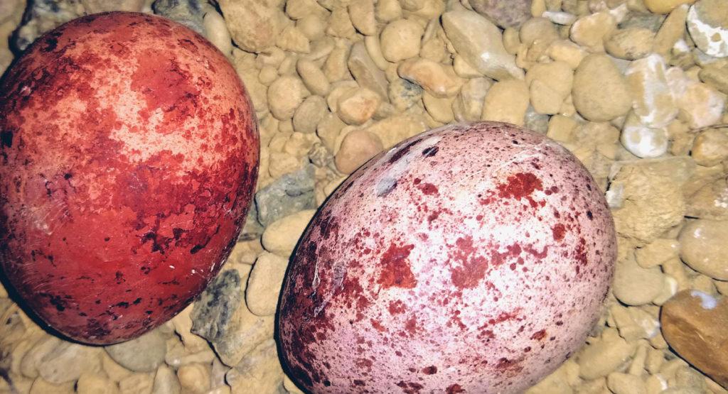 Peregrine falcon eggs