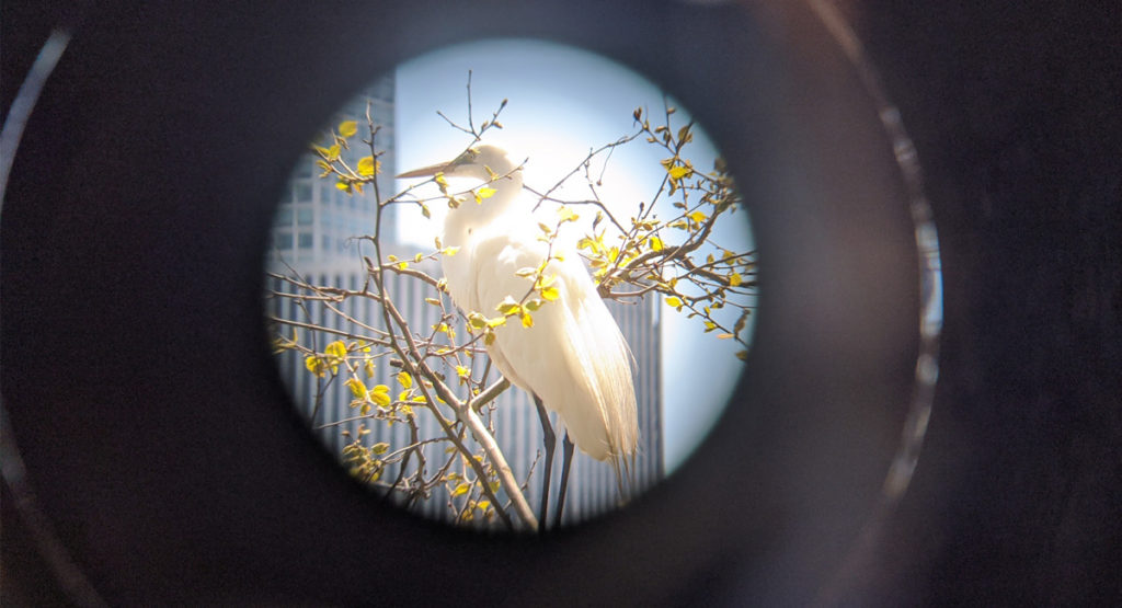 A Great egret in Central Park