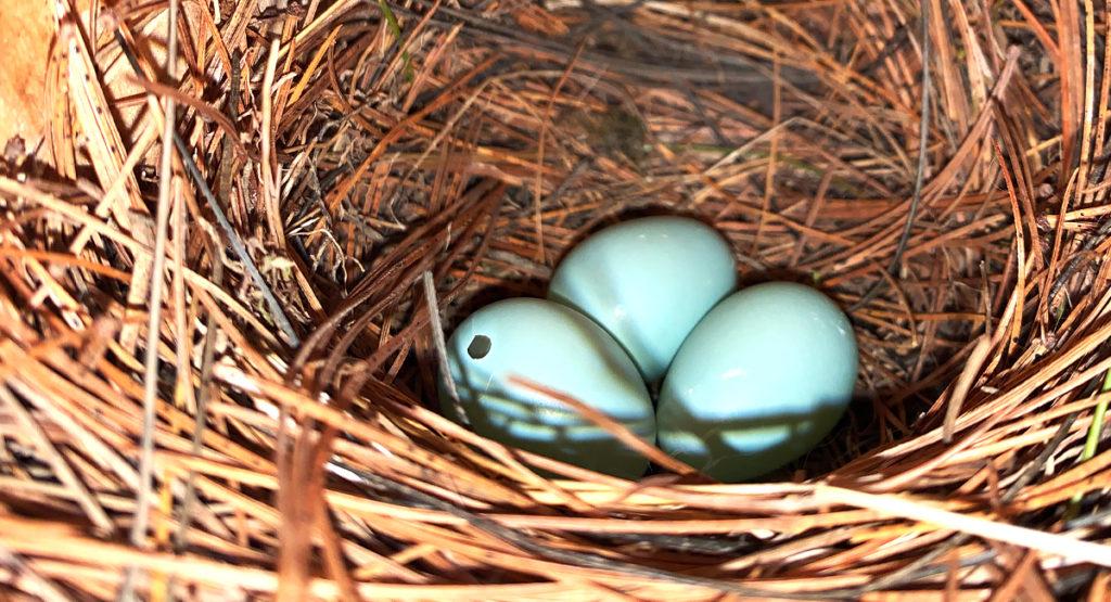 Eggs in a bird box