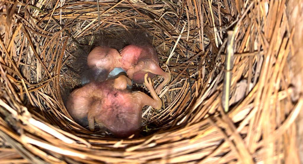 Hatchlings in a bird box