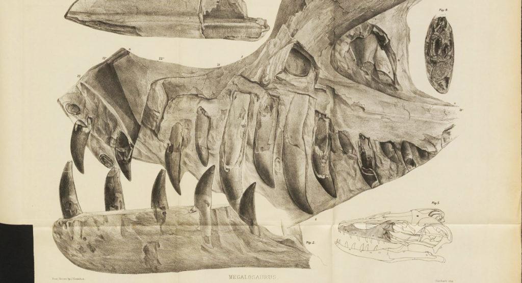 A 19th-century illustration of a Megalosaurus skull