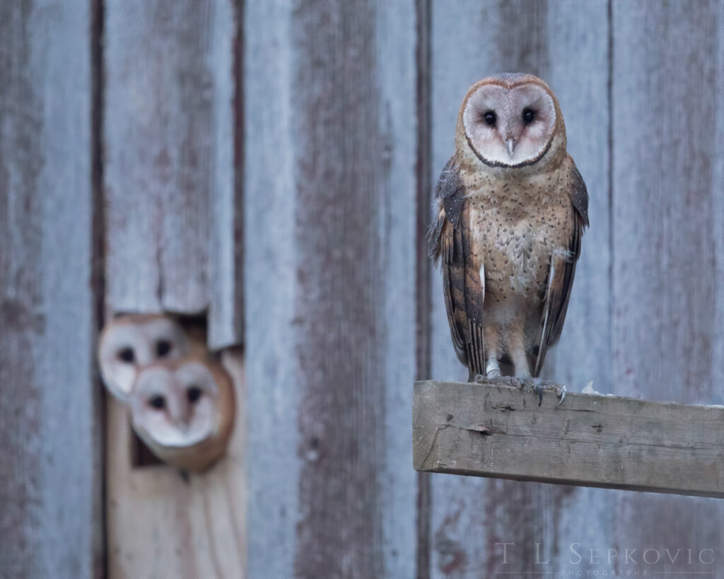 Two Barn Owls peer out of a nest while a third perches nearby.