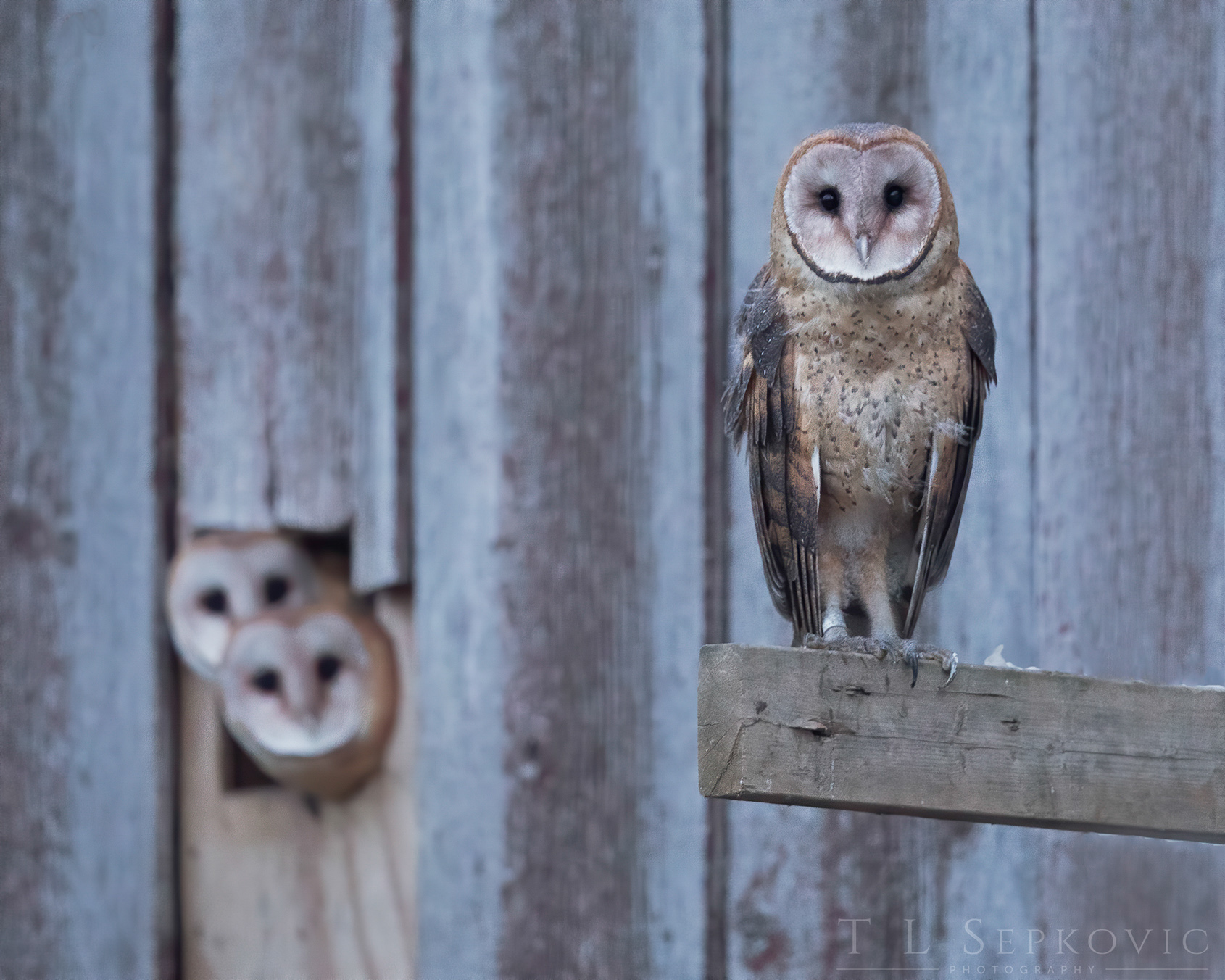 Image of two Barn Owls