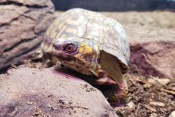 Aggi the Woodland Box Turtle