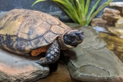 George the Wood Turtle