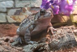 Maple the American Toad