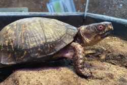 Otto the Woodland Box Turtle