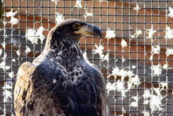 Rosalie the Bald Eagle
