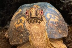 Tahko the Woodland Box Turtle