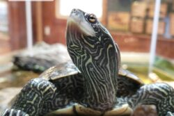 Topo the Northern Map Turtle