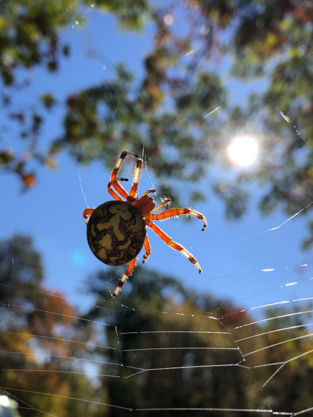 Image of a Marbled Orbweaver
