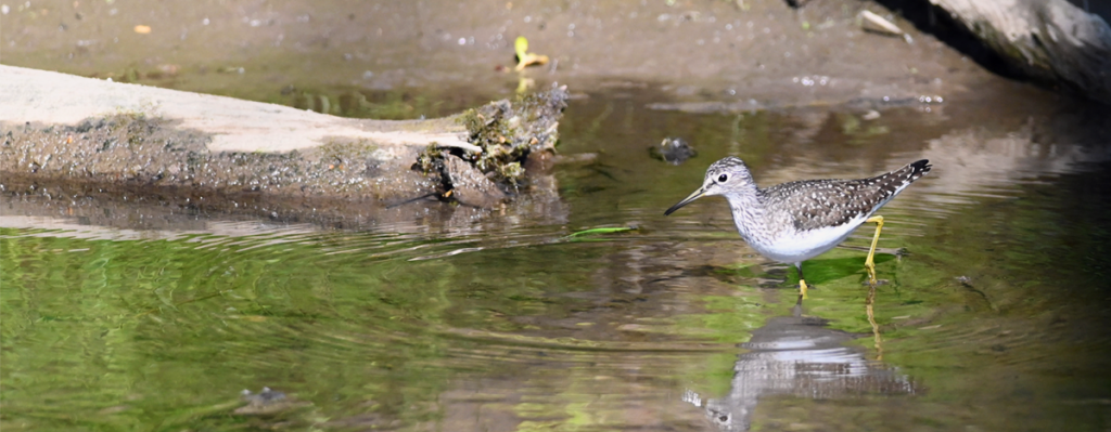 Solitary Sandpiper wading in water