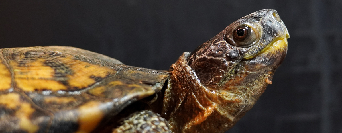picture of a wood turtle