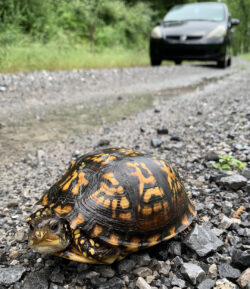 Eastern Box Turtle on the side of a road